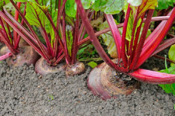 60 წლის ქალბატონი ვარ, ამ მცენარემ კი დამიბრუნა მხედველობა, მომაშორა ცხიმი ჩემი ღვიძლის გარშემო და სრულიად გამიწმინდა მსხვილი ნაწლავი-ის სურათის შედეგი