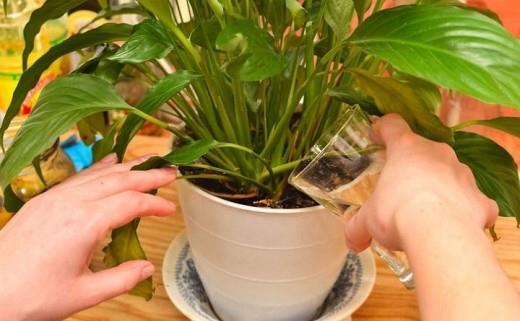 ეს მარტივი მეთოდი ყველაზე მოწყენილ მცენარეებსაც კი გამოაცოცხლებს