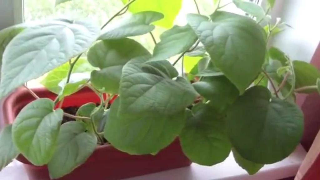 Как посадить и вырастить киви в квартире.jpg